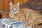 A small orange tabby cat in a wicker child's chair. poster
