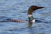Common loon in blue water of north lake. Immer gavia poster