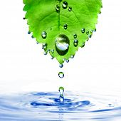 green leaf with water drops and splash isolated on white poster