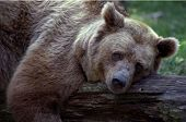 Large brown bear relaxing on fallen tree. poster