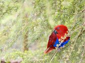 Beautiful Bright Red Female Eclectus Parrot in Tea Tree poster