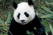 cute giant panda in the zoo of chengdu china poster