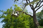 Gardener or tree surgeon pruning a tree using an elevated platform on the hydraulic articulated arm of a cherry picker poster