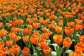 Orange Tulip Sea
