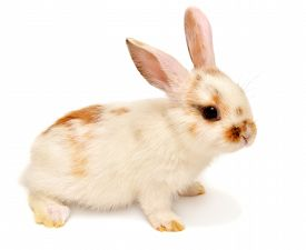 White young lop-eared rabbit isolated on white background