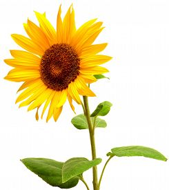 Sunflower isolated on white background. Flat. Yellow