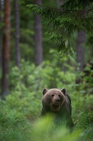 Brown bear (Ursus arctos) in the forest