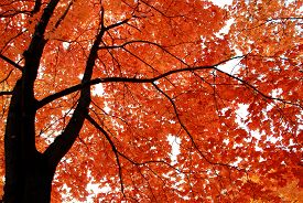 Autumn landscape. Tree, yellow, orange, fall. Sky.
