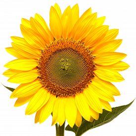 Sunflower isolated on white background. Flat, flower.