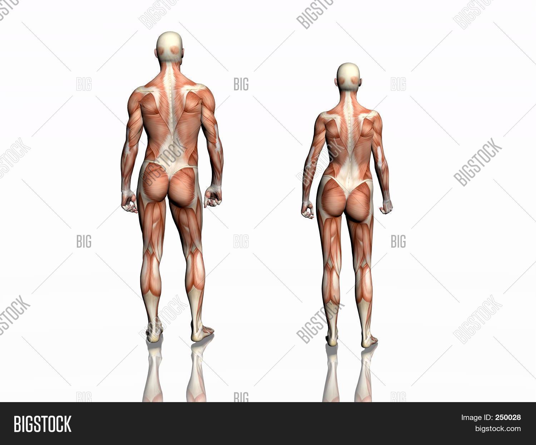 Anatomy Man Woman Image & Photo (Free Trial) | Bigstock