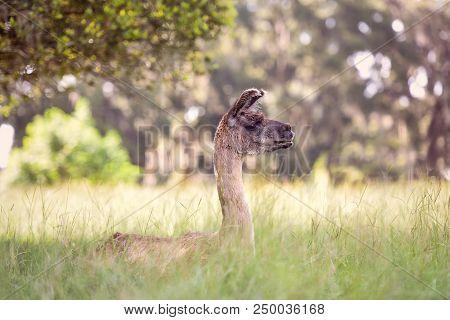 Lama Guanaco (lama Guanicoe) Relaxing In A Pasture Of Tall Southern Grass