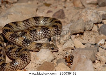 A Western Ground Snake From The Trans-pecos Region Of West Texas.