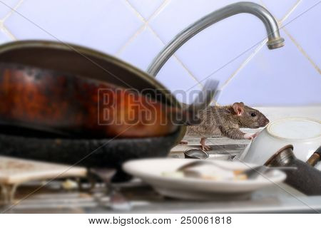 Close-up Young Rat (rattus Norvegicus) Climbs On Dirty Dishes In The Kitchen Sink. Two Old Pans And