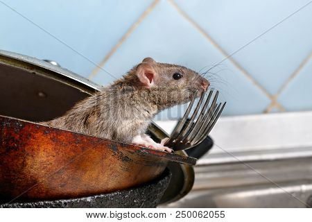 Close-up Young Rat (rattus Norvegicus) Looks Out Of The Dirty Pan With Forks On Background Of Blue T