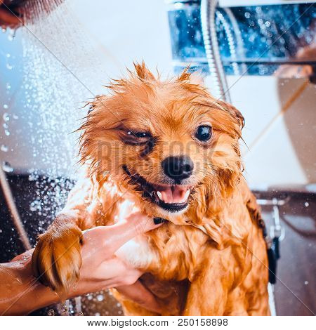 Pomeranian Dog With Red Hair In The Bathroom In The Beauty Salon For Dogs. Toned Image. The Concept