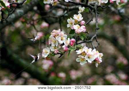Hummingbirds Blossoms