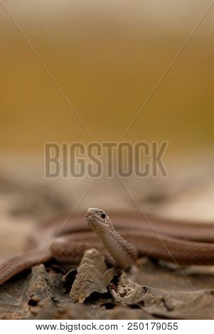 A Portrait Of Midland Brown Snake With A Natural Smooth, Brown Background.