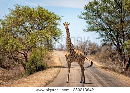 Giraffe stops in the middle of the road in Kruger National Park, South Africa.