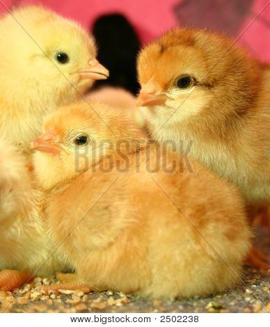 3 Lovely Little Easter Chicks