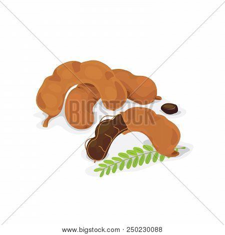 Vector Of Fresh Tamarind Pod And Seed.