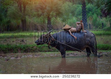 Asia Children Sleeping On Water Buffalo At Rural.thailand.