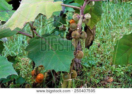 Unripe Solanum quitoense fruits in Juan Castro Blanco National Park, Costa Rica poster