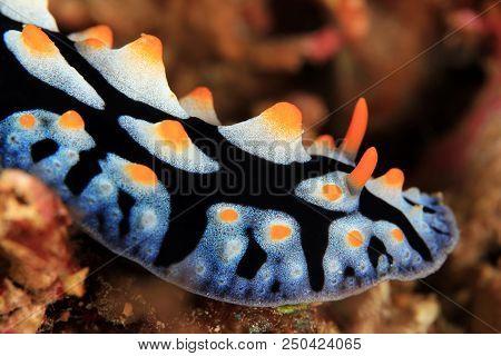 Varicose Wart Slug (phyllidia Varicosa). Anilao, Philippines