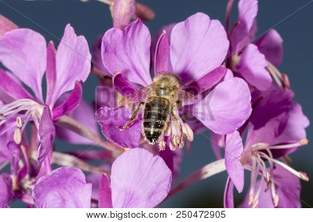 Bee Drinking Nectar From Fireweed Close Up.