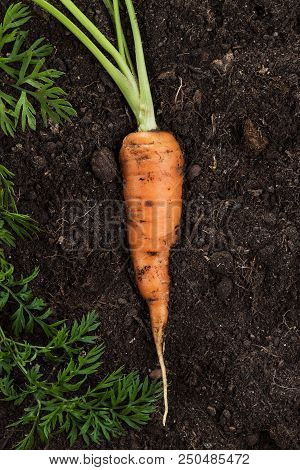 Raw Carrot. Fresh Carrot On The Soil. Fresh Carrot On The Soil Background. Carrot With Stem