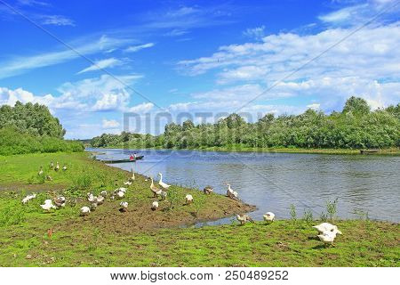 Summer Landscape With River And Grazing Geese. Flock Of Geese Grazes On Grass Near River. River With