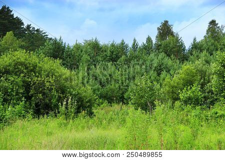 Pine Forest With Young Pines And Brushwood. Green Forest With Conifers