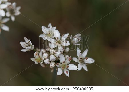 Flowers Of Fragrant-flowered Garlic (allium Ramosum)