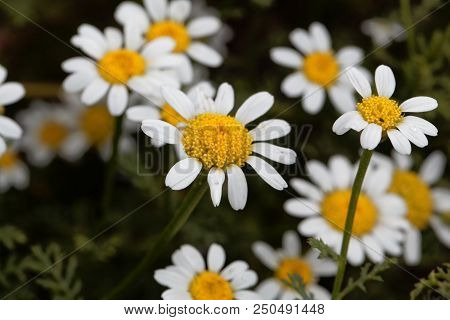 Flower Of Spanish Chamomile (anacyclus Pyrethrum)