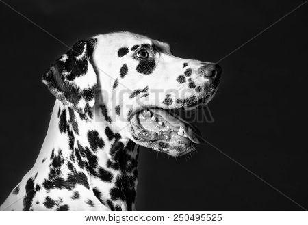 Dalmatian Dog Portrait From Sideways In Studio