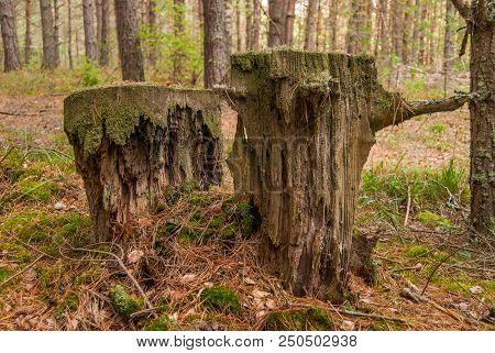Very Old Rotten Destroyed Wooden Stumps. Rotten Stumps Moss Nature Forest