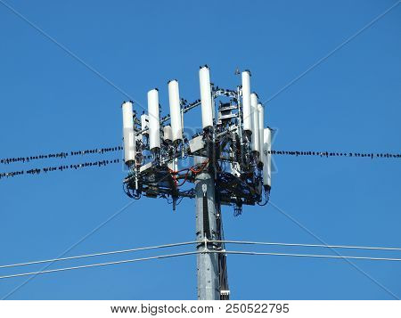 Hundreds Of Purple Martin Swallows, The Largest Of The Swallow Family, Not Only Lines The Wires, But