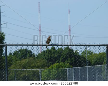 A Large Red Tail Hawk Sits On A Fence Overlooking His Territory, He Had Just Chased Crows Away From