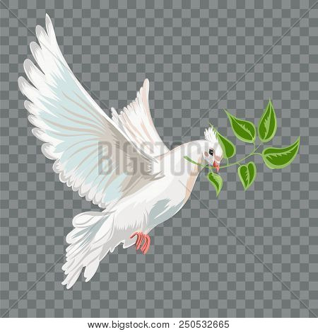 White Flying Dove With Branch. Isolated Object On A Transparent Background.