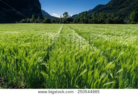 close up view of a young and fast growing wheat field in lustrous green and a slight wind and forest behind poster