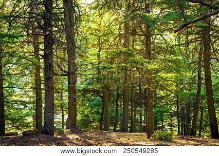 Beautiful landscape of a fresh evergreen forest, abstract natural background, great coniferous trees in day sun light, beauty of nature