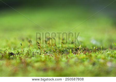 Close-up Of Green Moss. Macro Of Moss