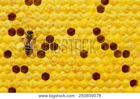 Bee on a cell with larvae. Bees Broods. Concept of beekeeping poster