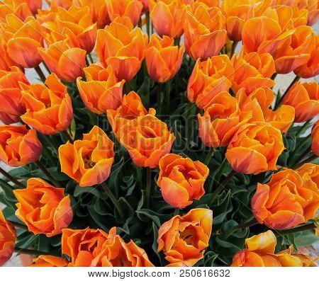 Beautiful Orange Tulips Close Up On A Sunny Day