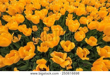 Beautiful Yellow Tulips Close Up On A Sunny Day