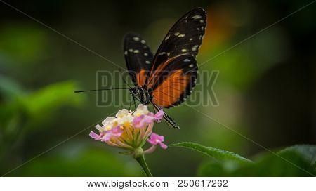 Doris Longtail Butterfly, Heliconius Doris, sitting on a flower