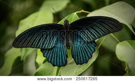 male great mormon butterfly, papilio memnon, sitting on a green leaf presenting its wings