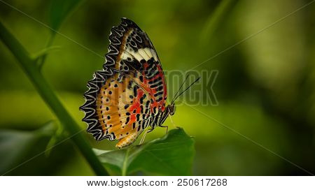 Leopard Lacewing Butterfly, Cethosia Cyanae, sitting on a green leaf