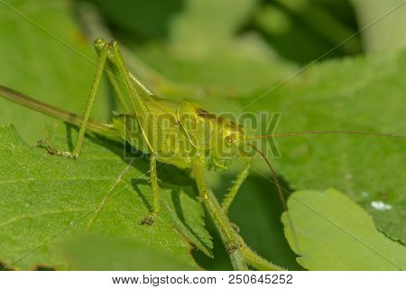 Grasshopper Sits On The Grass Close-up. Macro Photo Of A Grasshopper Sitting On A Sheet. Locust Sitt