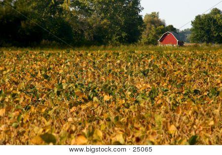 Red Barn In Soy Bean Field