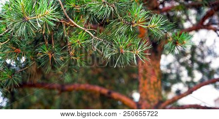 Pine Tree And Pine Cone. Pine Branches Blurred Background. Bokeh